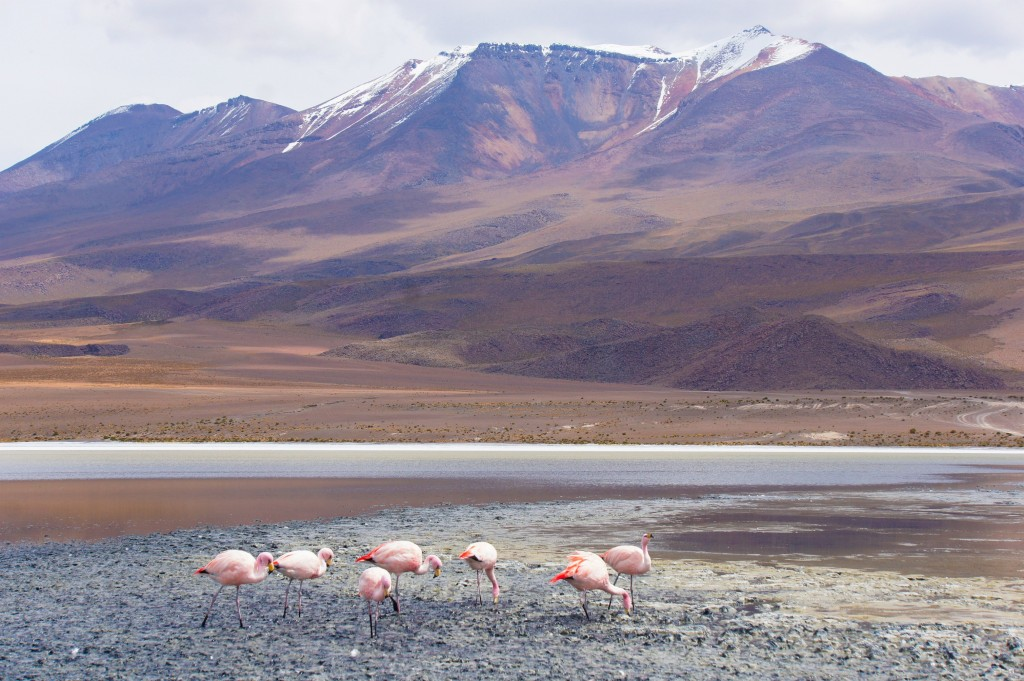 Flamingos at laguna verde