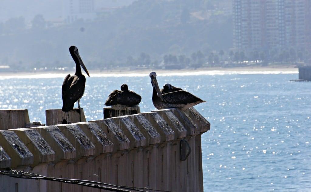 Pelicans Viña del mar