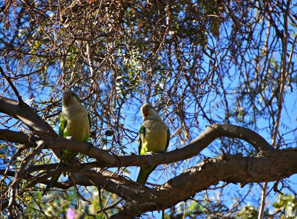 Perrots in Valparaiso
