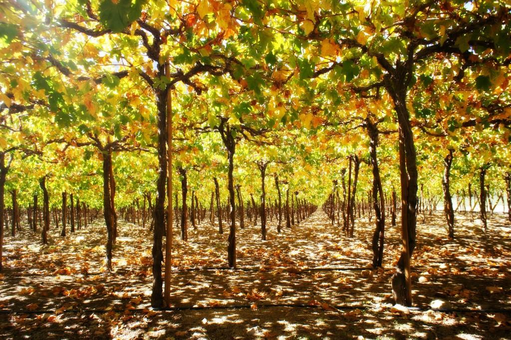 Vineyard Valle de Elqui
