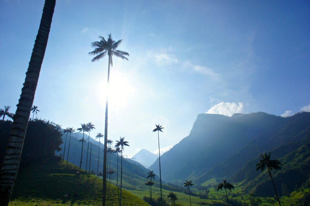 Wax Palm Tree cocora Valley