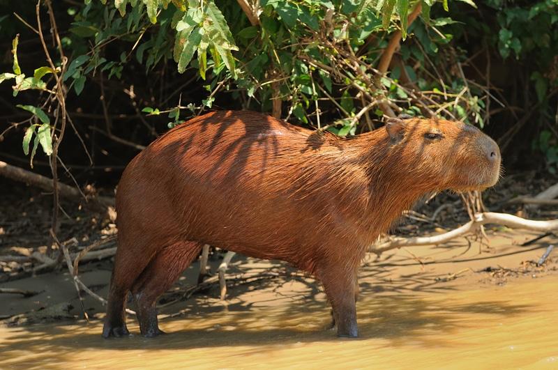 Wild capybara Amazon