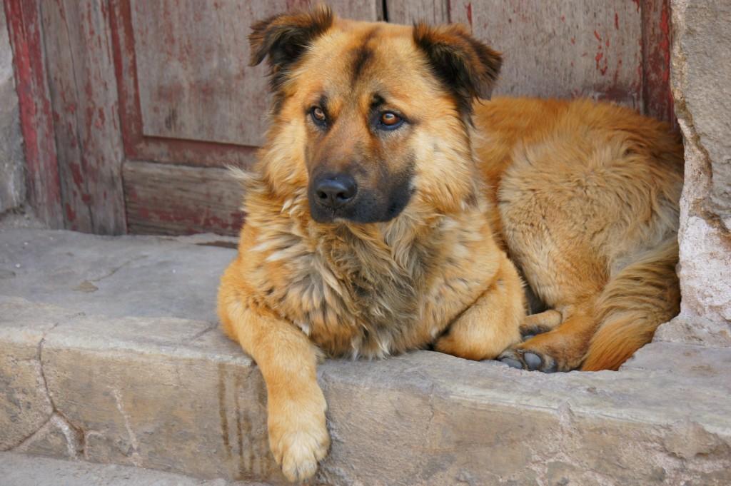Stray dog Potosi