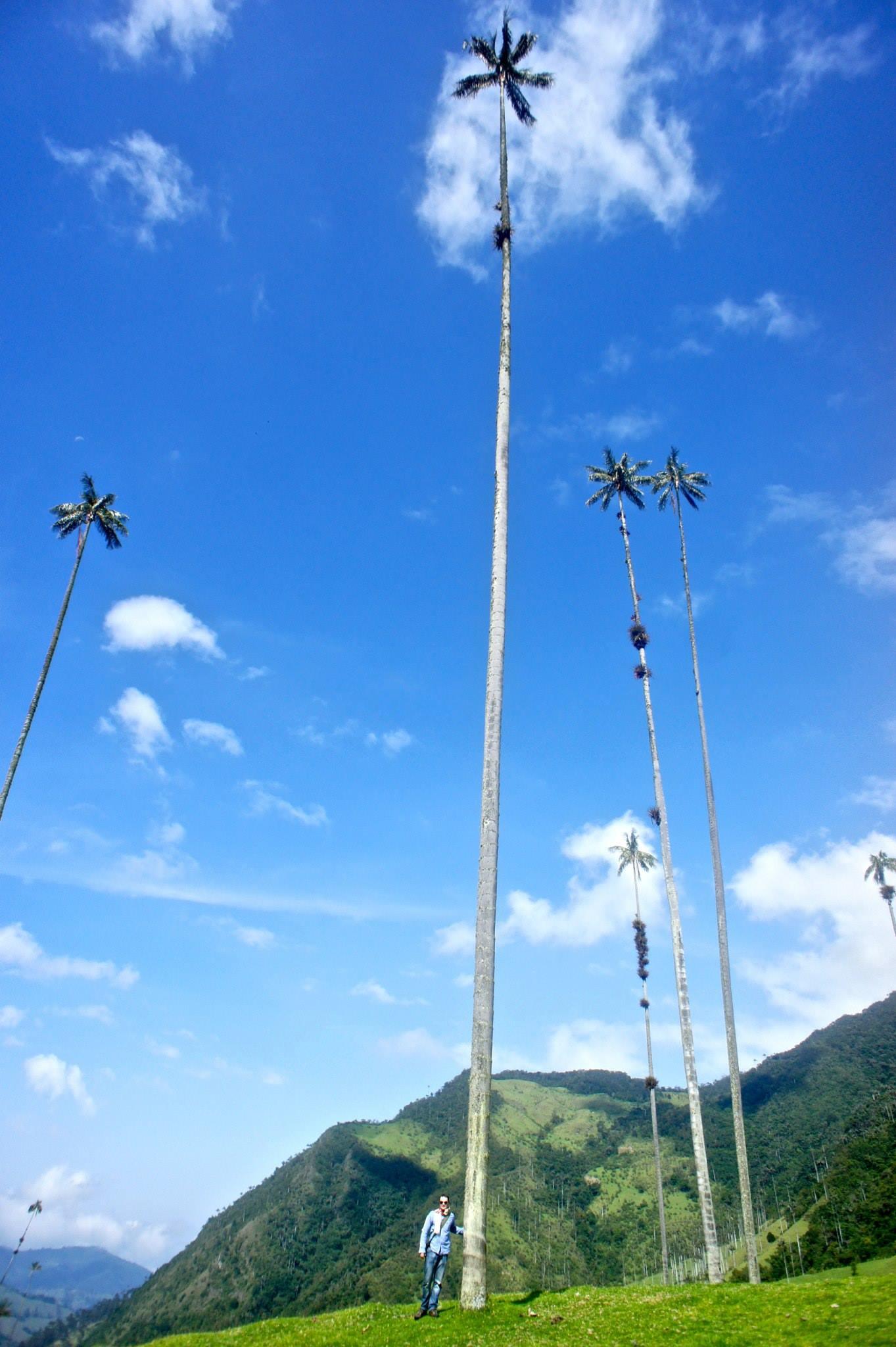Wax palm tree versus human